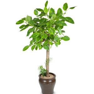 뱅갈고무나무(최고인기상품)