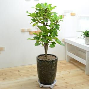 뱅갈고무나무(받침 미포함)