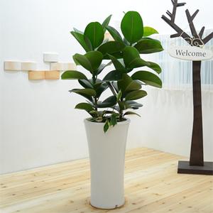 고무나무(공기정화)